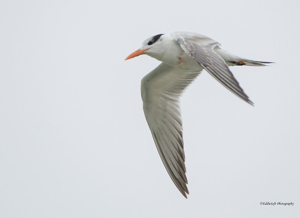 Tern Caught in Fishing Hook at Seawolf Park, Galveston, Texas in January 2017