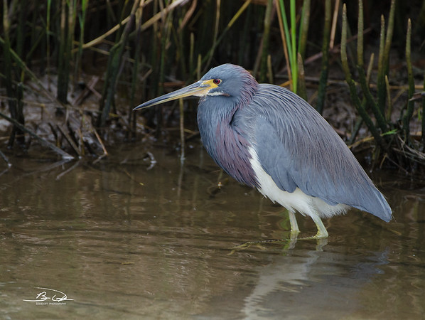 Ticolored Heron found at South Padre Island Bird Viewing and Nature Center December 2016
