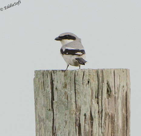 Loggerhead Shrike found at Laguna Atascosa National Wildlife Refuge, Texas January 2017