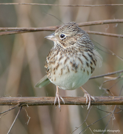 Vesper Sparrow discovered at William Goodrich Jones State Forest in December 2016