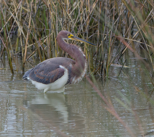 Tricolored Heron found on Galveston Island, Texas December 2016