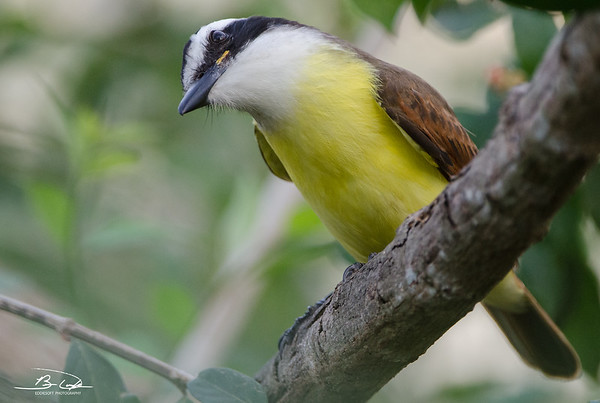 Great Kiskadee shot at South Padre Island Birding and Nature Center in January 2017