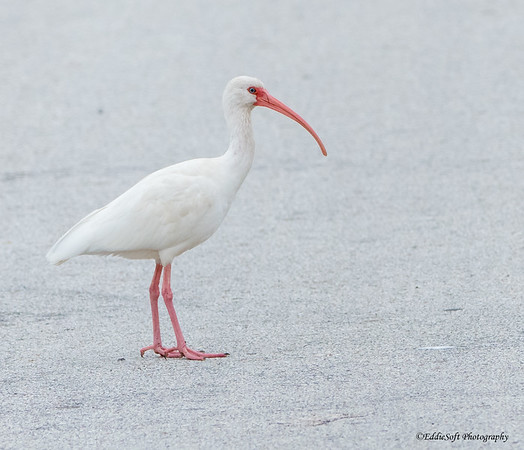 White Ibis found at Anahuac NWR in December 2017