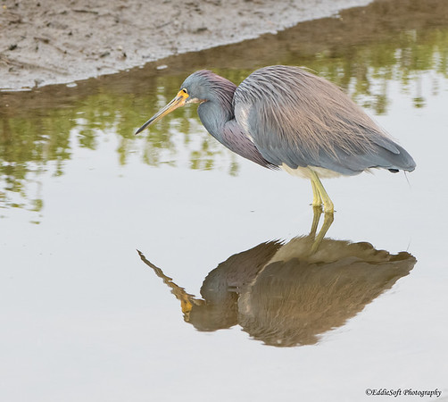ricolored Heron found at South Padre Island Bird Viewing and Nature Center December 2017