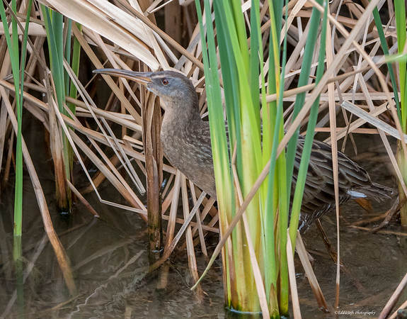 Clapper Rail at South Padre Island Bird Viewing and Nature Center, Texas in December 2017