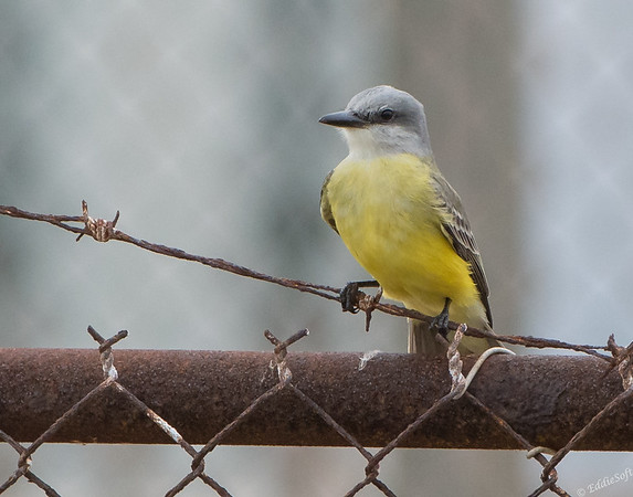Tropical Kingbird found at the South Padre Bird Viewing Center in December 2017