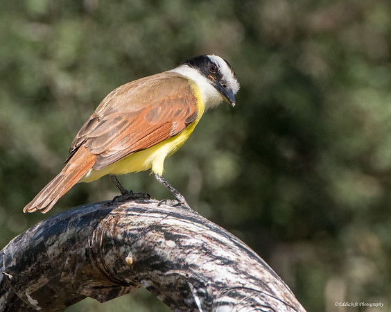 Great Kiskadee found at Bentsen-Rio Grande State Park in December 2017