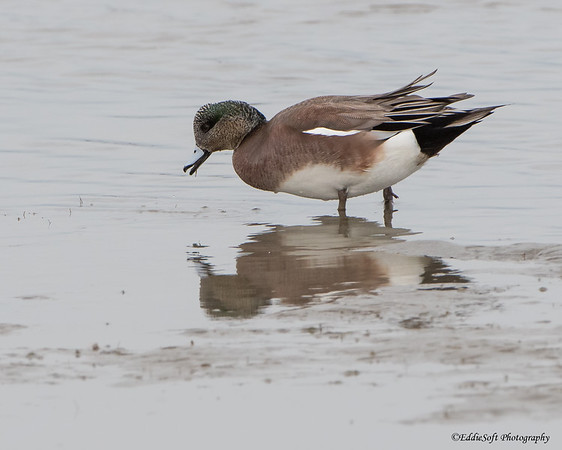 American Wigeon found at South Padre Island Bird Viewing and Nature Center, December 2017