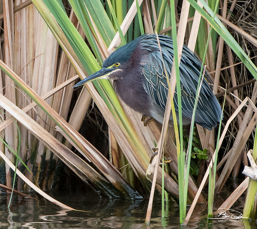 Green Heron encountered at South Padre Island Bird Viewing and Nature Center in January 2017