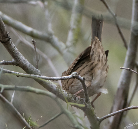Lincoln's Sparrow found at Harlingen Thicket World Birding Center January 2018