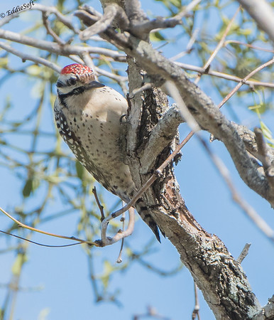 Ladder=Backed Woodpecker found at Bentsen-Rio Grande Valley State Park in Texas in January 2018