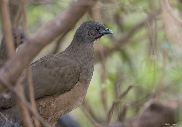 Plain Chachalaca found at The Valley Nature Birding Center in January 2018