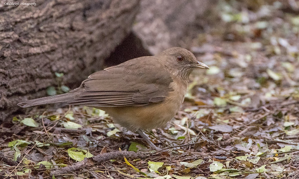 Clay-Colored Thrush found at the Valley Birding Center in Weslaco, Texas January 2017