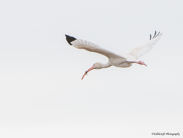 White Ibis found at Galveston State Park in December 2017