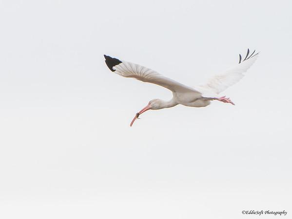 White Ibis found at Galveston State Park in December 2017