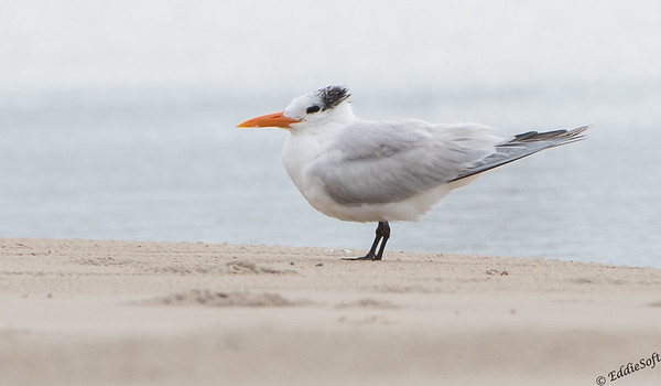 Royal Tern found on Galveston Island, TX in December 2017