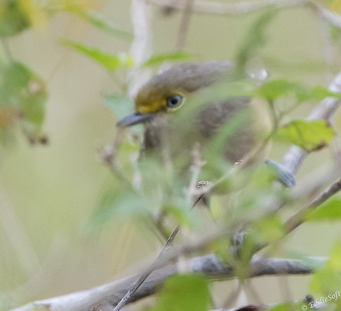 White-Eyed Vireo found at Laguna Atascosa National Wildlife Refuge, December 2017