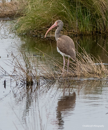 White Juvi Ibis found at Anahuac NWR in December 2017