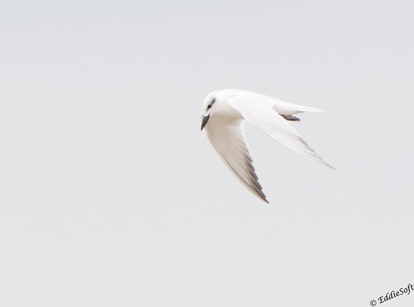 Gull-Billed Tern Laguna Atascosa National Wildlife Refuge, Texas December 2016