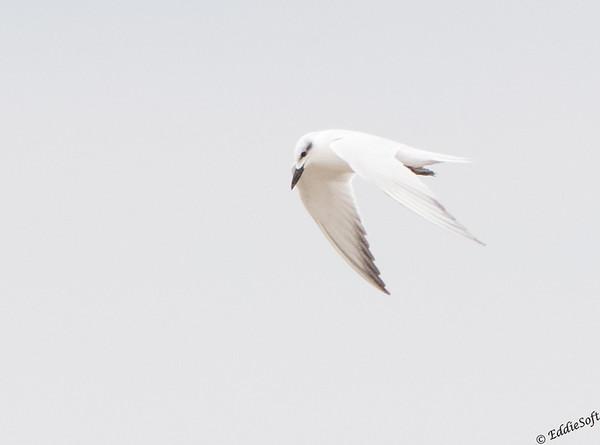 Gull-Billed Tern Laguna Atascosa National Wildlife Refuge, Texas December 2016