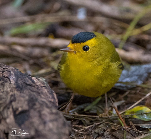 Wilson's Warbler found at The Valley Nature Birding Center, Weslaco Texas January 1st, 2018