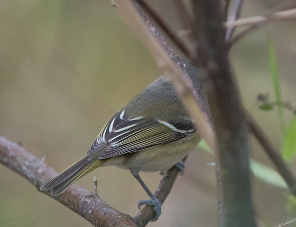 White-Eyed Vireo found at Sabal Palm Sanctuary, December 2017