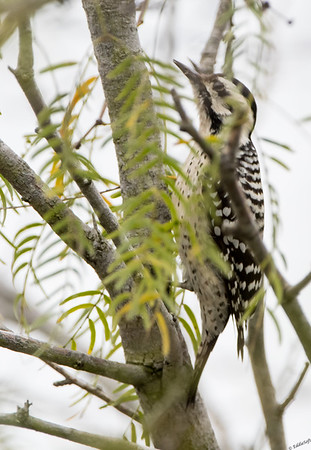 Ladder=Backed Woodpecker found at Laguna Atascosa NWR in Texas in December 2017