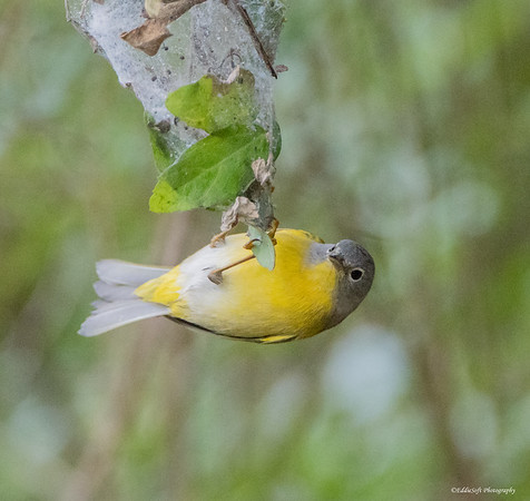 Nashville Warbler found at Weslaco Valley Birding Center January 2018