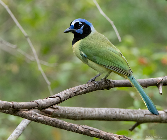 Green Jay captured at Laguna Atascosa NWR, Texas December 2017