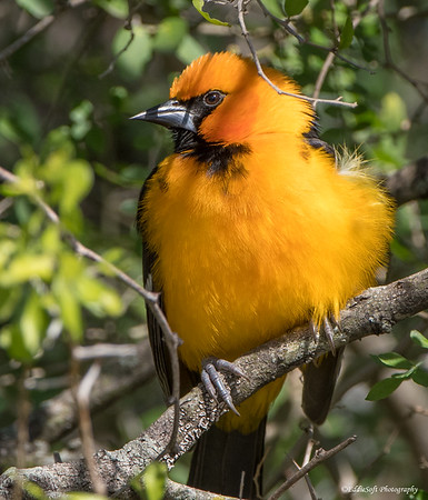 Altamira Oriole shot at Bentsen-Rio Grande Valley State Park January 2018