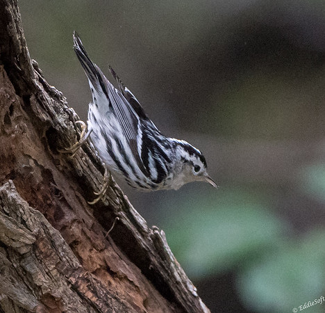 Black-and-White Warbler at Valley Birding Center in Weslaco, Texas January 2018