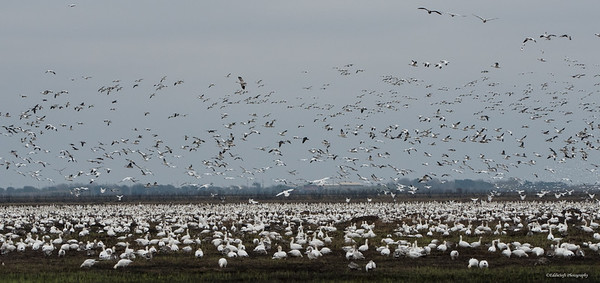Snow Geese massing at Anahuac National Wildlife Refuge, Texas in January 2018