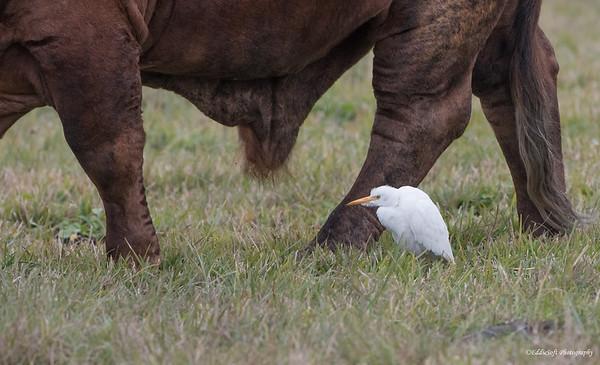 Cattle Egret shot at Rockport, Texas in December 2017