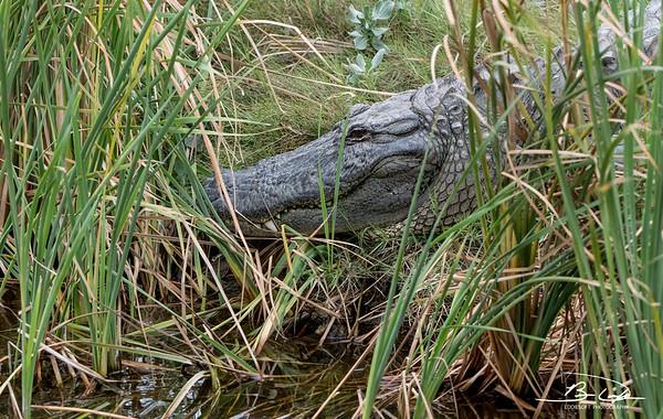 Alligator shot at Padre Island Birding and Nature Center, December 2017