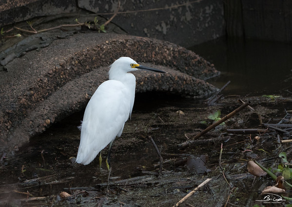 Snowy Egret found on Texas Gulf Coast December 2017