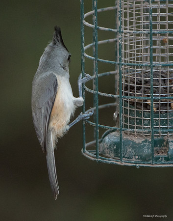 Black-Crested Titmouse found at Bentsen-Rio Grande Valley State Park in January 2018