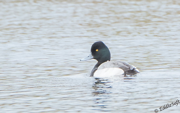 Lesser Scaup found at Galveston Island State Park, Texas Gulf Coast, December 2017