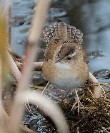 Marsh Wren found an Anahuac National Wildlife Refuge on the Texas Gulf Coast December 2017