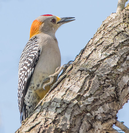 Golden-Fronted Woodpecker found at Bentsen-Rio Grande Valley State Park, January 2018