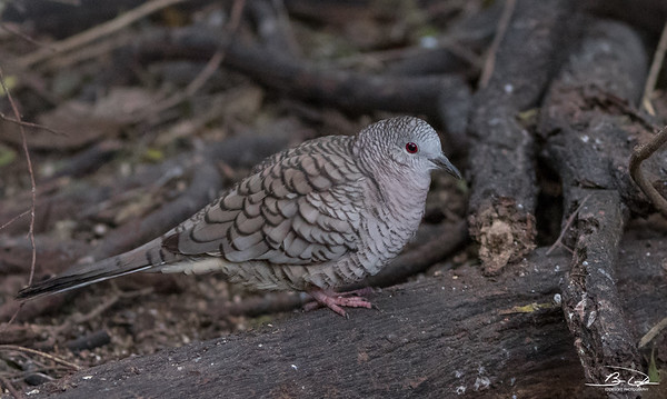 Inca Dove found at Valley Birding Center in Weslaco, Texas January 2018