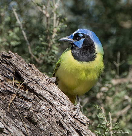 Green Jay captured at Bentsen-Rio Grande Valley State Park, Texas January 2018