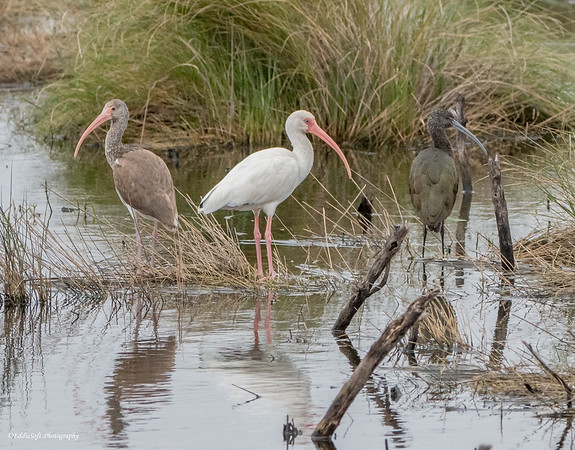 White, White Juvi and Juvi Glossy Ibis found at Anahuac NWR in December 2017