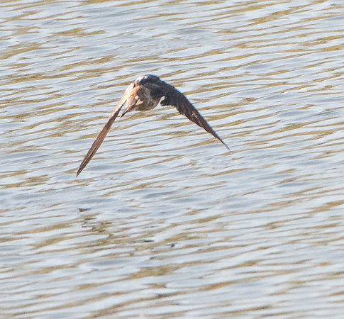 Cave Swallow found at Bentsen-Rio Grande Valley State Park January 2018, Texas