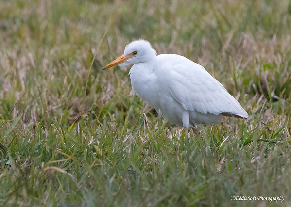 Cattle Egret shot at Rockport, Texas in December 2017