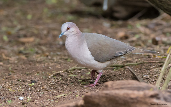 White-Tipped Dove found at Laguna Atascosa National Wildlife Refuge in December 2017