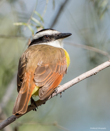 Great Kiskadee found oat Bentsen-Rio Grande State Park in December 2017