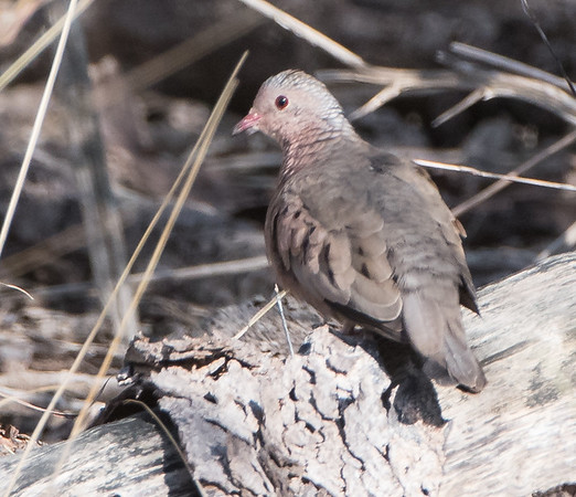 Common Ground Dove found at Estero Llano Grande State Park, Texas, January 2018