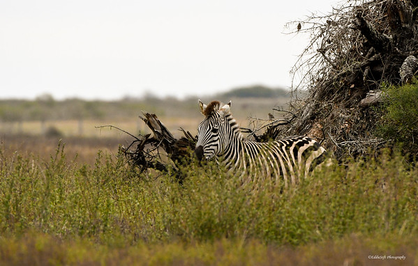 Plains Zebra found in Anahuac National Wildlife Refuge at end of Smith Point Road