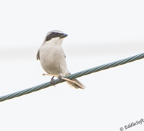 Loggerhead Shrike found at South Padre Island Bird Viewing and Nature Center, Texas December 2017