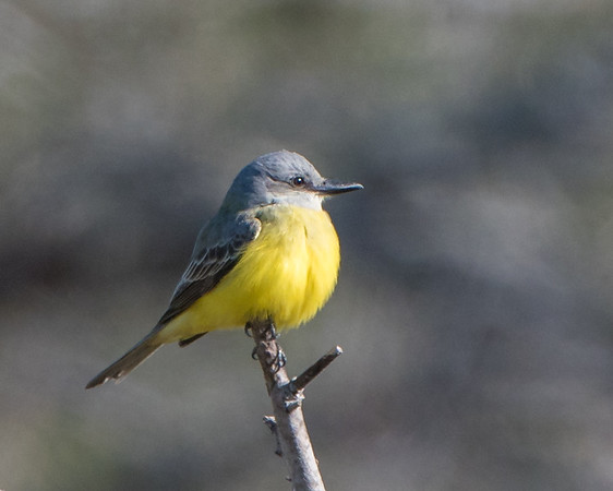 Likely a Tropical Kingbird found at Estero Llano Grande State Park January 2018